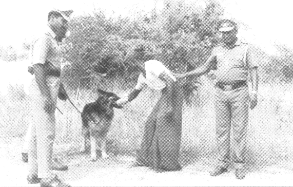 A police dug catches a 'criminal' during training.